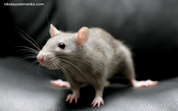 мышь, история мыши и кот